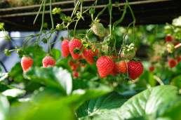 strawberries unsplash